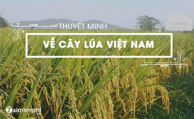 Thuyết minh về cây lúa Việt Nam 2