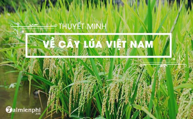 Thuyết minh về cây lúa Việt Nam 4