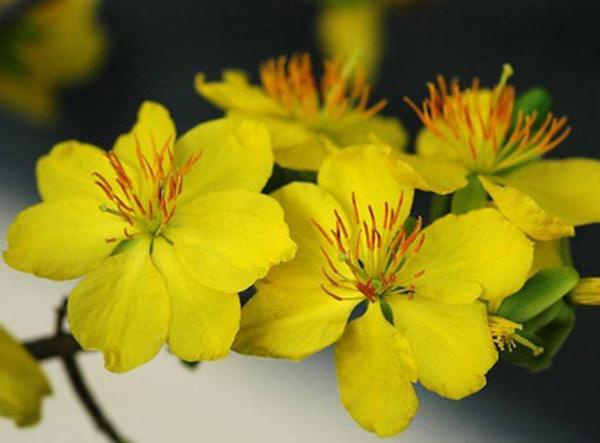 Hình ảnh hoa mai vàng đẹp đón tết