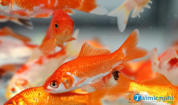 Nằm mơ thấy cá chép, cá chép đỏ, vàng, hóa rồng, bị chết 2
