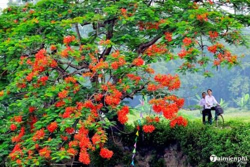 Những bài văn tả cây phượng, hoa phượng hay nhất 4