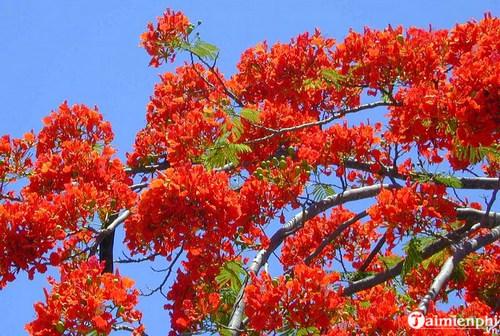 Những bài văn tả cây phượng, hoa phượng hay nhất 6