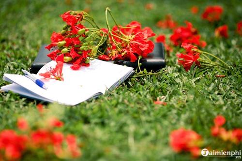 Những bài văn tả cây phượng, hoa phượng hay nhất 7