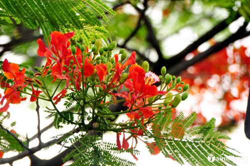 Những bài văn tả cây phượng, hoa phượng hay nhất 8